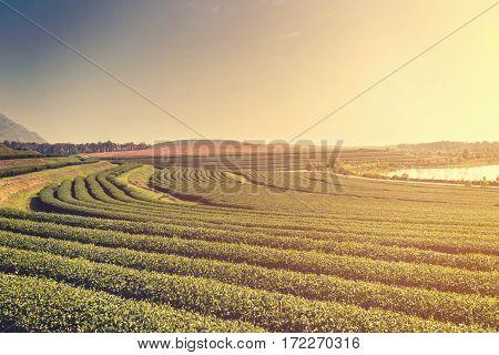 Green Tea Plantation Farm With Morning Light And Mist