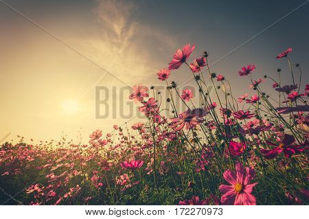 Field Pink Cosmos Flower And Sunlight With Vintage Toned.