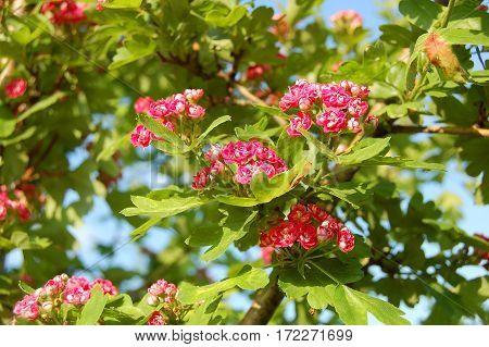 Hawthorn (crataegus) Flower