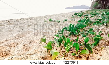 Green fresh Morning Glory with very sunny on the beach