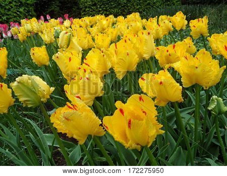Vibrant Yellow with Red Accent Tulip Flowers in the Spring Shower, Keukenhof, Netherlands