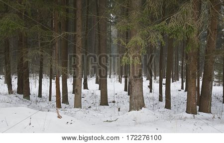 Belarus February 2017 Trunks of trees in the snow long tall trees spruce forest lots of trees dense forestfluffy snow fresh air