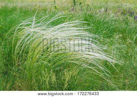 green feather grass, mat grass in steppe