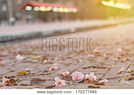 Beautiful Flowers Fall From Tree Tabebuia Spread On The Floor.