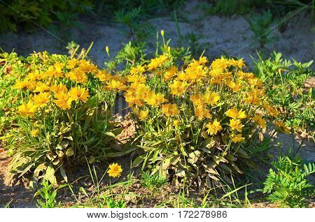 Beautiful rural flowerbed with yellow blooming coreopsis
