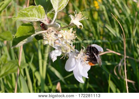 Bumblebee on the flower of the apple-tree
