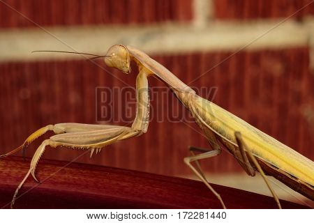 A preying mantis tiliting its head while looking right at you