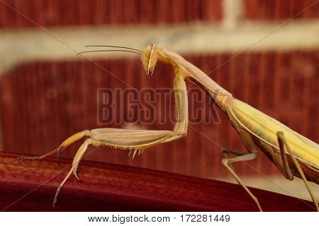 A profile of a preying mantis looking right at you with one eye while sitting on a stalk of rhubarb