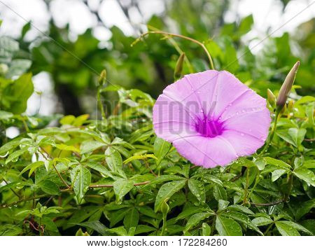 Water droplets on morning glory flower, purple flower, Purple flower blossom on garden, Close up