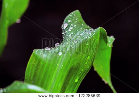 Corn leaves with drops after rain. Natural background with limited depth of field.