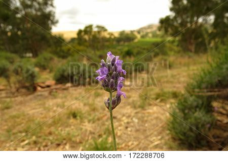 Close-up of a lavender flower in an Australian outback farmbushland valley garden