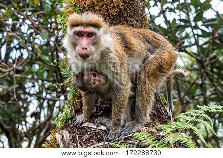 Mother and baby of Sri-Lankan toque macaque or Macaca sinica