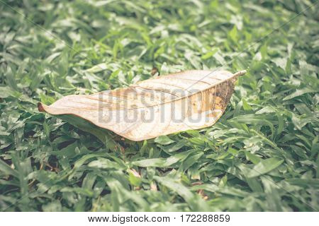 Vintage Filter : Yellow Dry Leaf On Green Grass After Rain