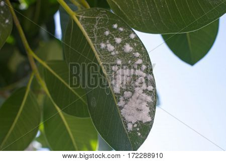 Mealybug on leaf figs. Plant aphids infestation Ficus elastica