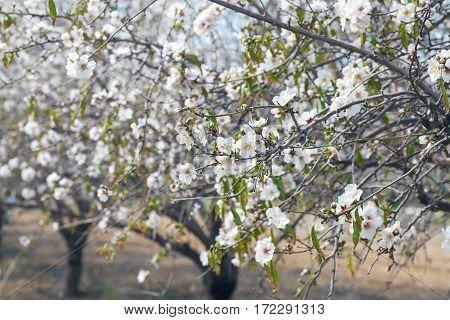 Closeup On Almond Tree Branches