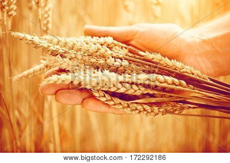 Wheat ears in man's hand. Harvest concept. Hand of farmer touching wheat corn agriculture. Ears of wheat close up. Harvest and harvesting concept. Cereal, Field of golden wheat. Whole grains.