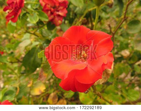 Small wild red rose in bloom in garden