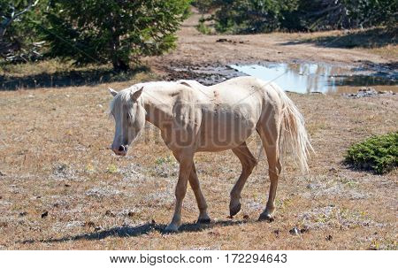 Wild Horse Mustang Palomino Mare on Tillett Ridge in the Pryor Mountains Wild Horse Range on the Wyoming Montana state line border USA