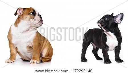 English puppy and French buldog