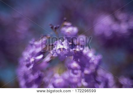 Close Up Of Jacaranda Tree Flowers. Soft Focus, Dreamy Background