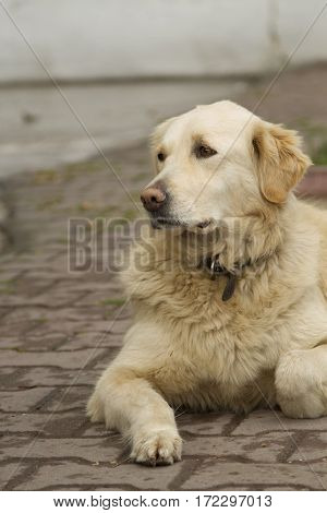 Golden retriever laying on the street not looking to camera