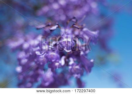 Close Up Of Jacaranda Tree Flowers. Soft Focus, Dreamy Background