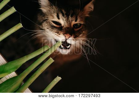 Cat Eating Green Plant, Showing Teeth And Big Whiskers. Beautiful Cat With Funny Emotions Biting Pla