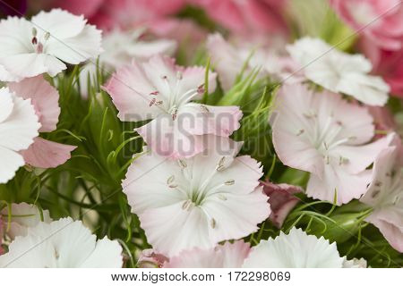 Pink and white sweet-william like spring background outdoor blur