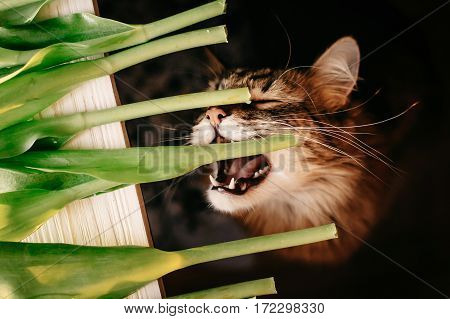 cat eating green stem showing teeth and big whiskers. beautiful cat with funny emotions biting plant on black background. space for text. yummy fresh vitamins for pet