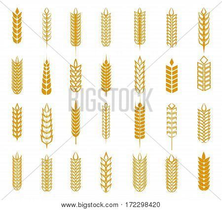 Wheat, rye and barley ear set isolated on white background. Grain ears vector illustration for beer, baking and farming label designs
