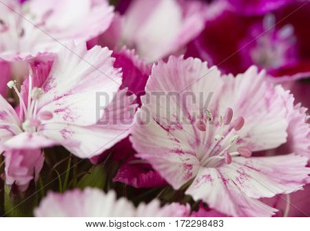 Pink and white sweet-william like spring background outdoor