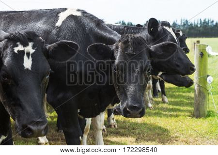 crowded cows in green pasture in blue sky
