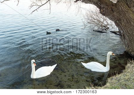 Swans in the lake. Beautiful white swans swimming and feeding. Lake and white swans