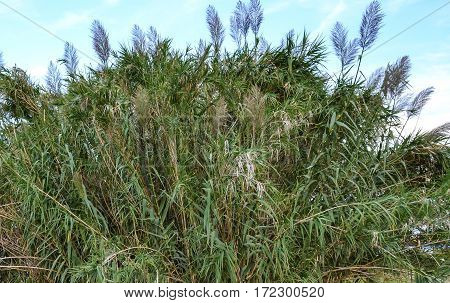 A large cluster of reeds. Natures background