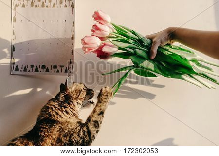 Cute Cat Playing With Tulips In Morning In Room. Funny Moments With Hipster Woman And Her Kitty In S