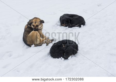 Three stray dogs lying on crust of ice over snow at winter street