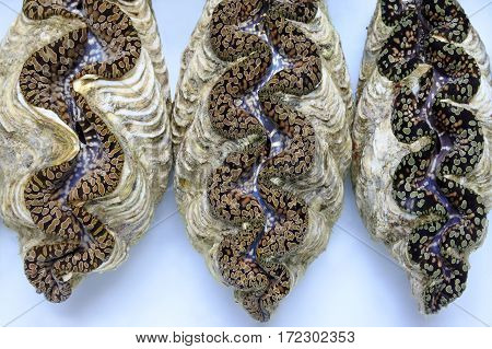 Three live Giant clam (Tridacna gigas) from Fiji.Tridacna gigas is one of the most endangered clam species.