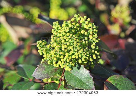 Winterberry (mahonia Aquifolium)