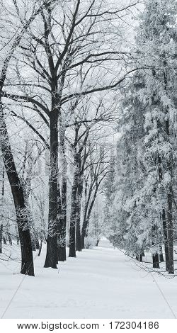 the tunnel between the trees covered with frost white black