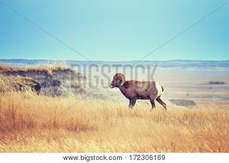 Bighorn Sheep With Large Curving Horns In Badlands National Park.