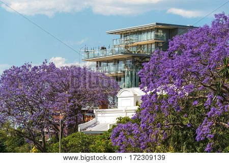 Blooming Jacaranda Trees With Urban Background