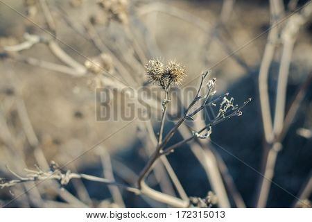 Bur in the dry grass in the early spring. Walk in the early spring on the bank of the Vyatka River, Kirov, Russia.