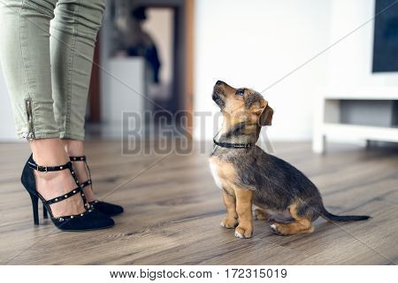 Loving Little Dog Staring Up At Its Female Owner
