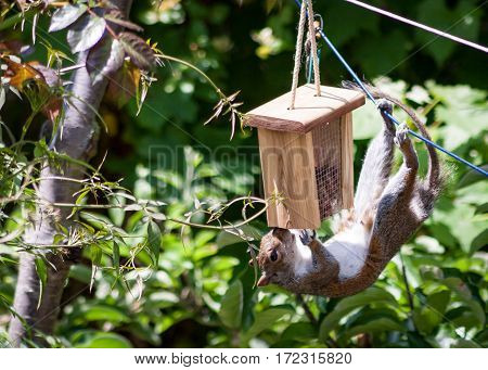 Squirrel feeding. An intrepid and imaginative squirrel making use of a washing line to gain access to a bird feeder containing nuts.