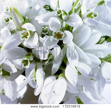 the a background  from snowdrops a white