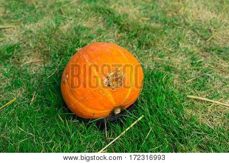 Alone pumpkin on green grass destroyed by the time,