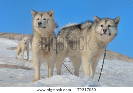 Greenland sled dogs in spring time, close up