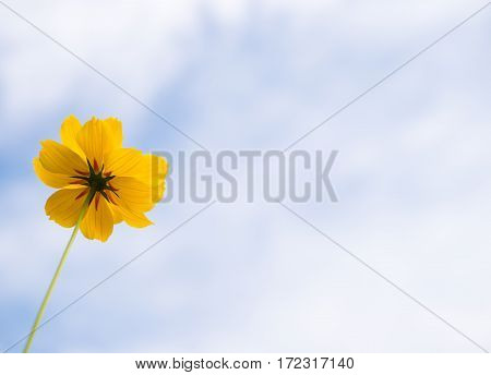 Alone Or Lonely Yellow Cosmos Flower With Blue Sky.