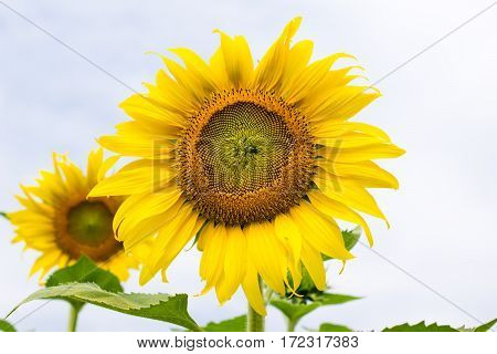 Yellow Sunflower Fully Blooming, Rising Like The Sun With The Sky.
