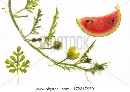 Water-melon red isolated on a white background